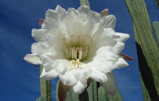 Természetes Medicinák Amazóniában – San Pedro (Hauchuma, Wachuma, Achuma): a Négy Szél Kaktusza