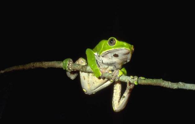 Természetes Medicinák Amazóniában – 3. rész – Sapo (a Béka Medicina)